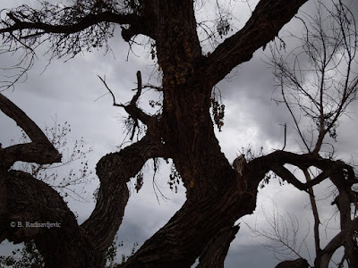 Spooky Dying Cottonwood Tree, © B. Radisavljevic