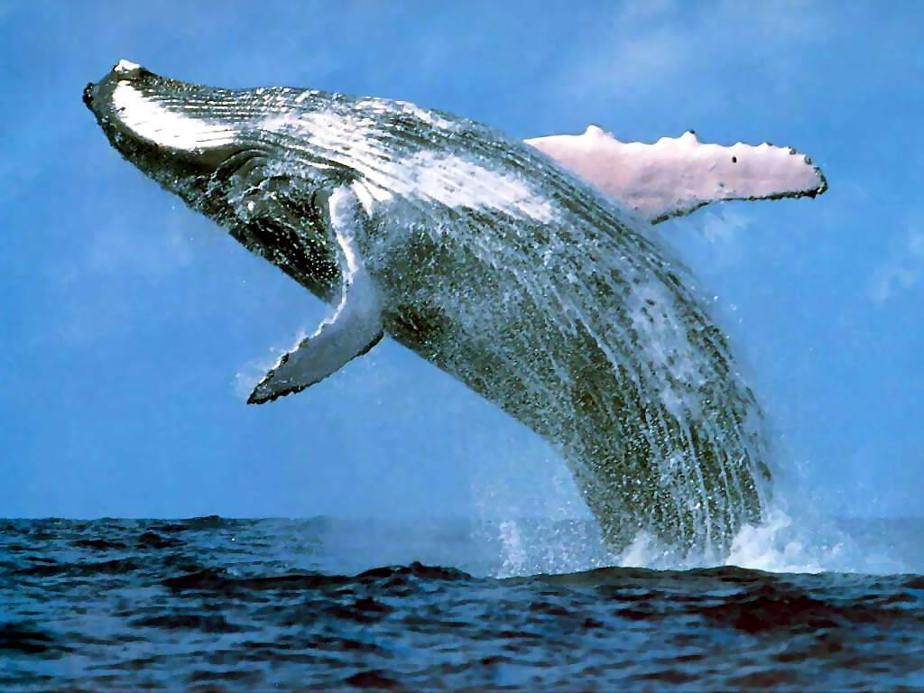 A whale is a fish or a mammal. Species of whales. What the whales eat and how they breathe 13