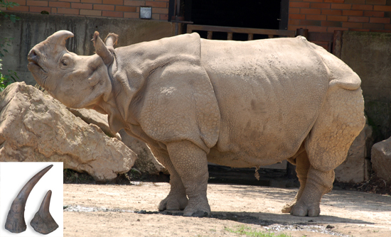 Rhinoceros unicornis L.-Family: Rhinocerotidae