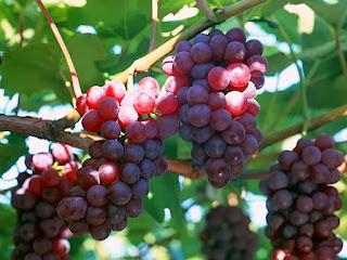 khasiat anggur dalam vivix