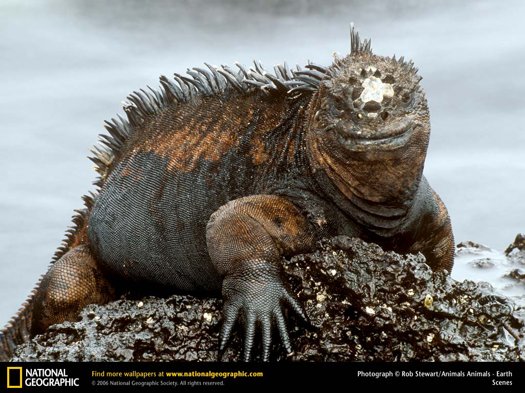 foto iguana - gambar hewan