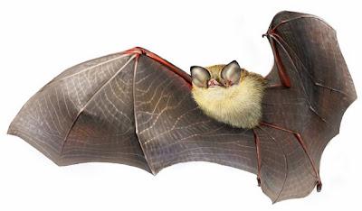 Cuban Greater Funnel-eared Bat