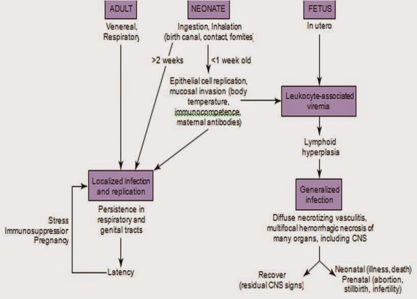 Hình 1: Sinh bệnh học của bệnh truyền nhiễm do CHV