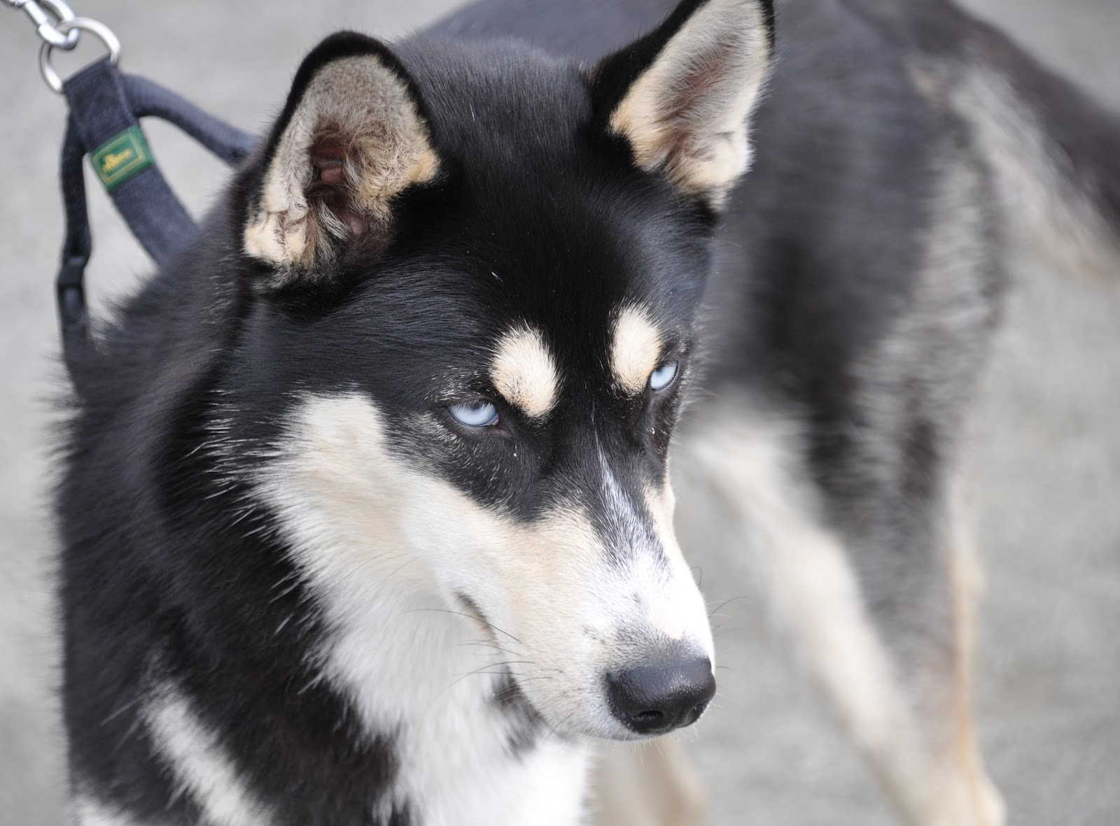 husky (maybe Siberian) whose owners were at the show to see the ...