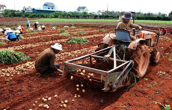 Đà Lạt: Trồng khoai tây lãi 100 triệu đồng/ha.