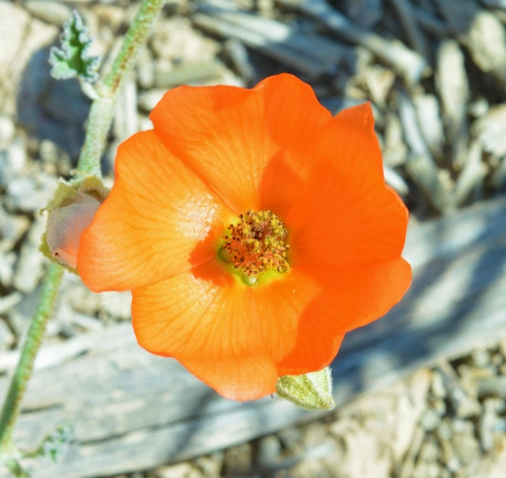 Orange Globe Mallow, Sphaeralcea ambigua_1648
