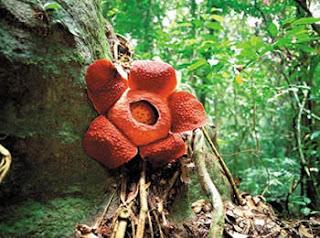 Types of Rafflesia Tuan-Mudae Flower