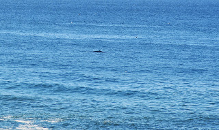 Mink whale surfacing.