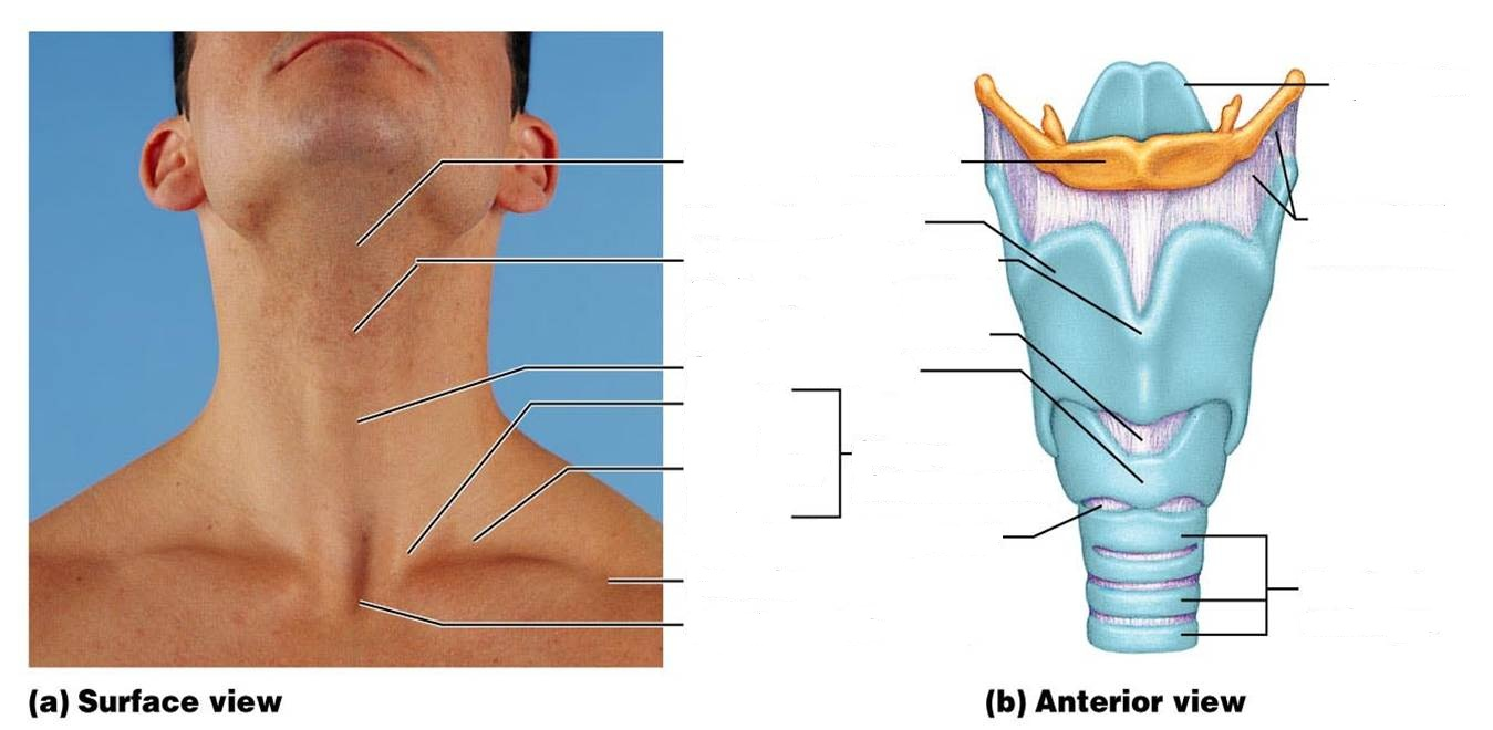 Pharynx diagram blank new wiring diagram 2018 class blog bio 202 respiratory system worksheet tonsils diagram gallbladder diagram blank how deep is the average human mouth on pharynx diagram blank pooptronica