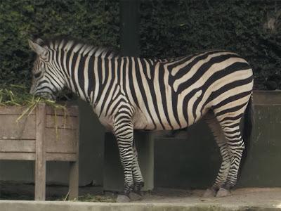 foto kuda zebra sedang makan rumput