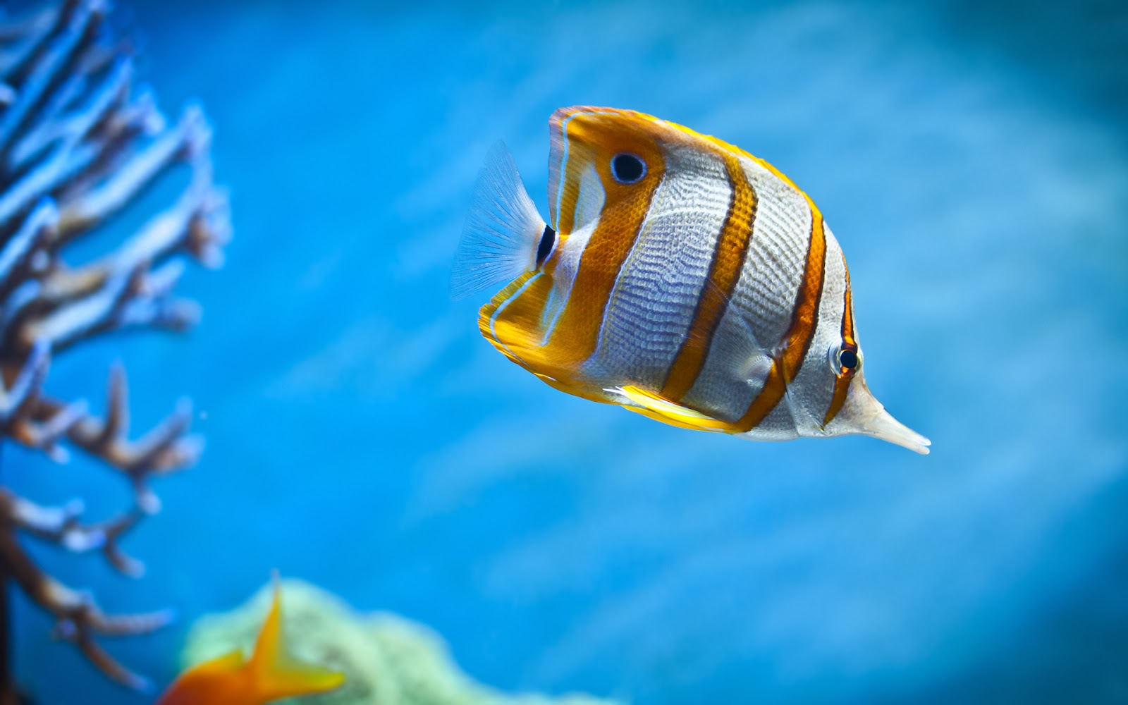 "<img src=""http://2.bp.blogspot.com/-g3kIRKlsTbM/UtmQ0mmTyCI/AAAAAAAAIqA/mFM3ADGmHyw/s1600/copperband-butterfly-fish.jpg"" alt=""butterfly fish"" />"