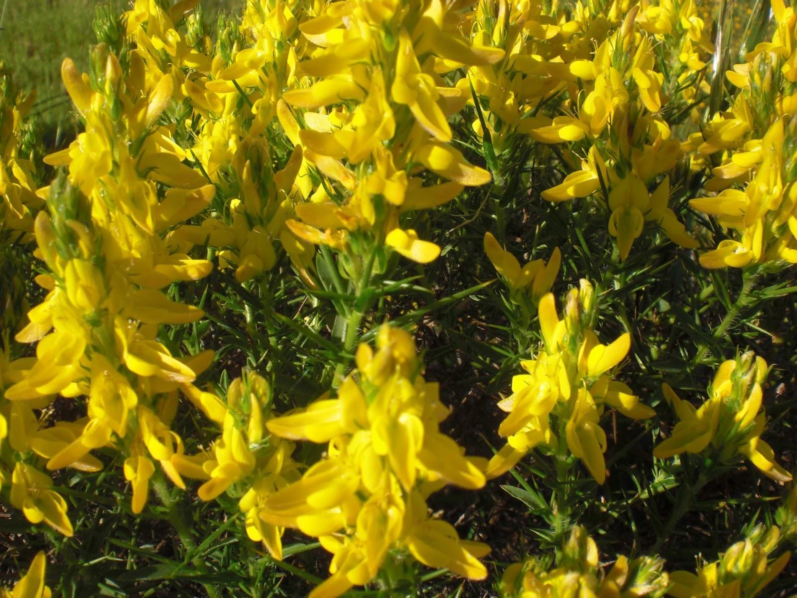 arbusto humilde y redondeado tiene densos racimos florales de color amarillo flores de a mm el cliz con el labio inferior ms largo