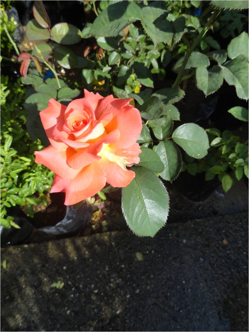 Plantas de rosas tags composicin flores plantas color for Pianta rosa