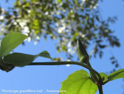 Annieinaustin Blue Sky Thunbergia