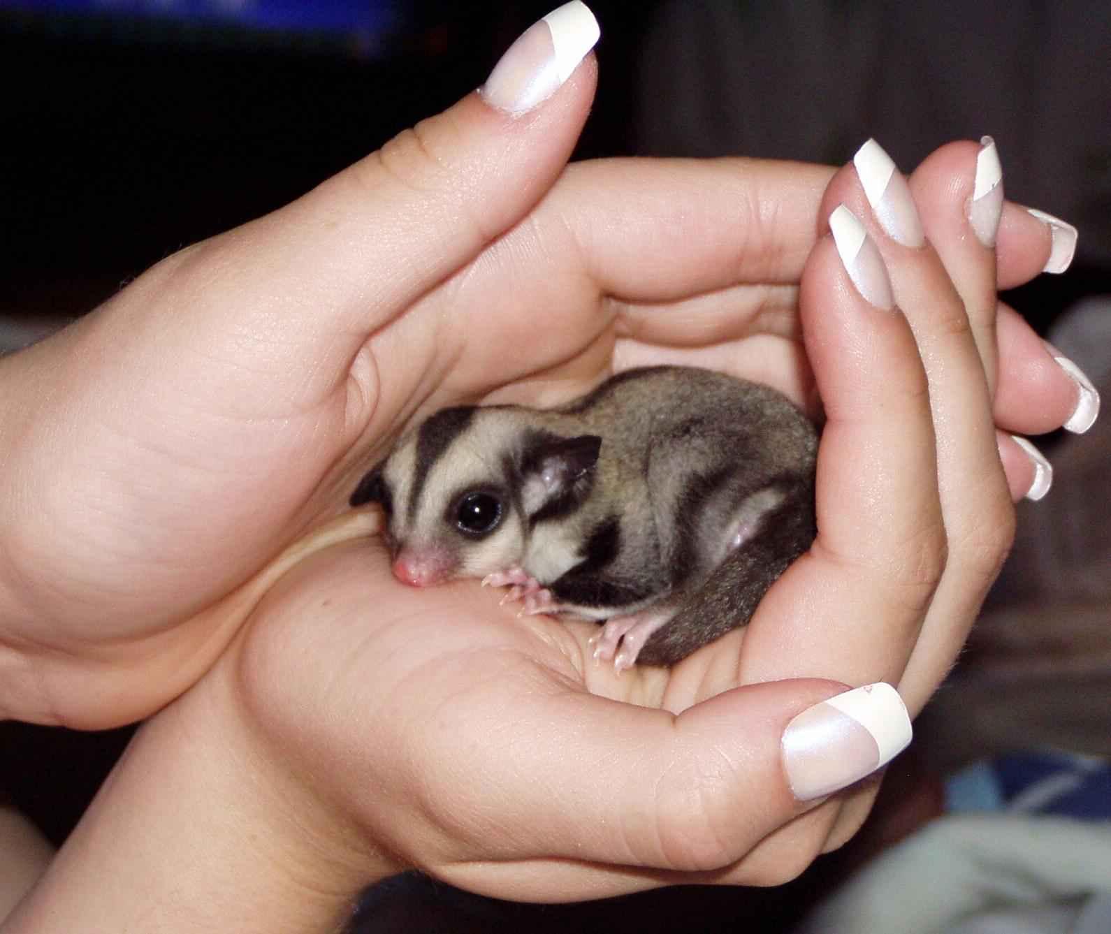 Sugar Gliders | Fun Animals Wiki, Videos, Pictures, Stories