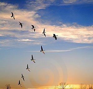 Esperançosa: Aprendendo com os gansos...