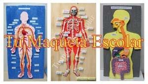Sistema Circulatorio, El Esqueleto y el Sistema Digestivo, maquetas varias