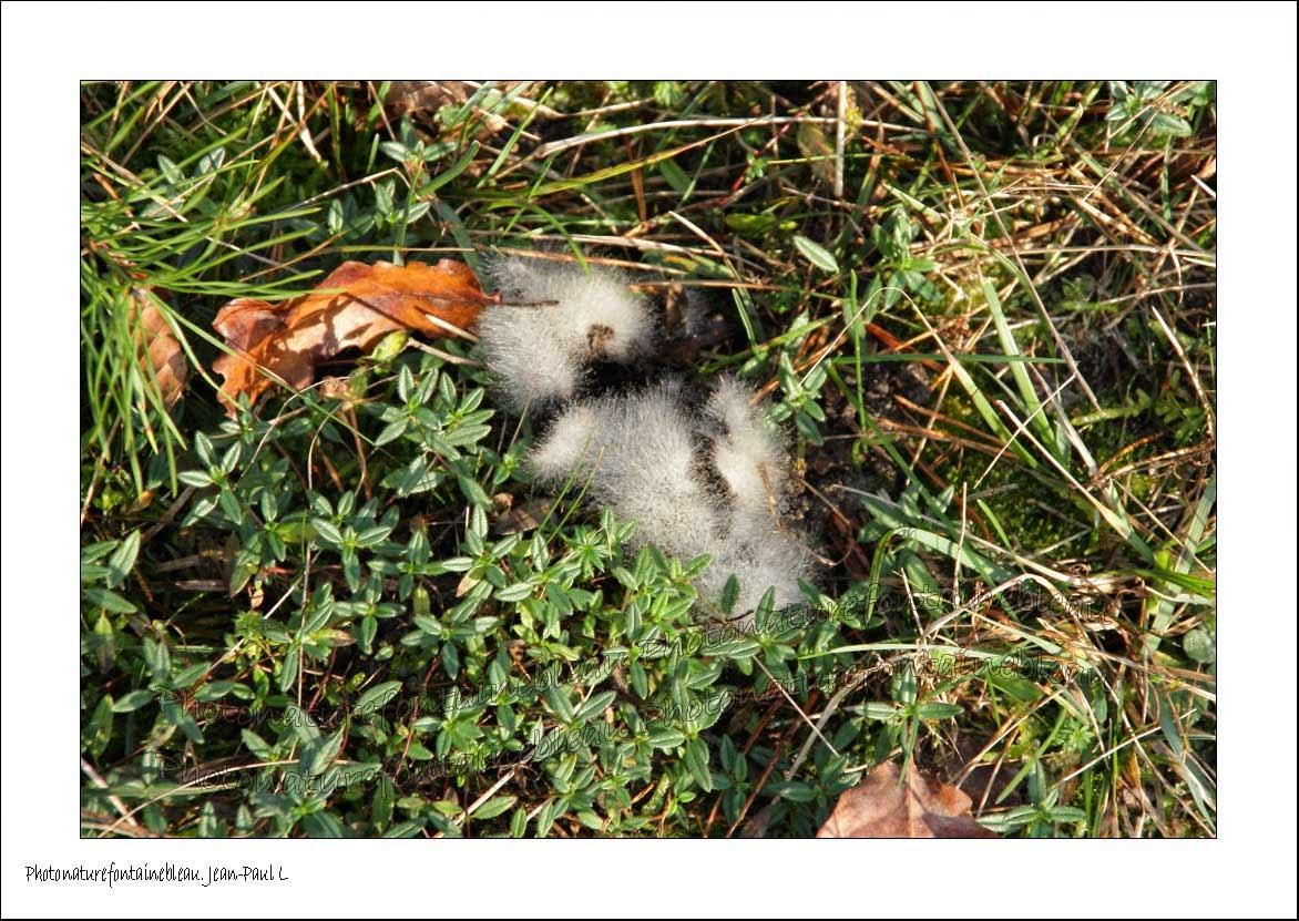 Thalle champignon - Champignon qui pousse sur les arbres ...