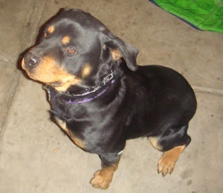 Cute Dogs: German Rottweiler Dog Cute Pitbull Puppy Black