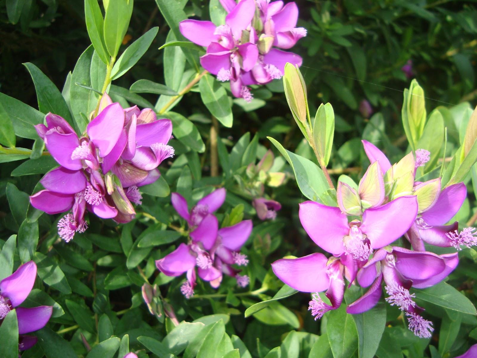 Floresamatxo todo sobre las flores consejos para cuidar tus flores y plantas polygala myrtifolia - Fotos flores preciosas ...
