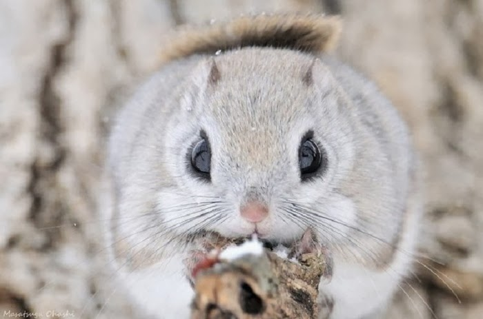 is the japanese flying squirrel one of the most adorable. Black Bedroom Furniture Sets. Home Design Ideas