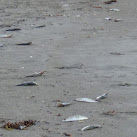 Thousands of Dead Fish Wash Up On Brevard County Beaches