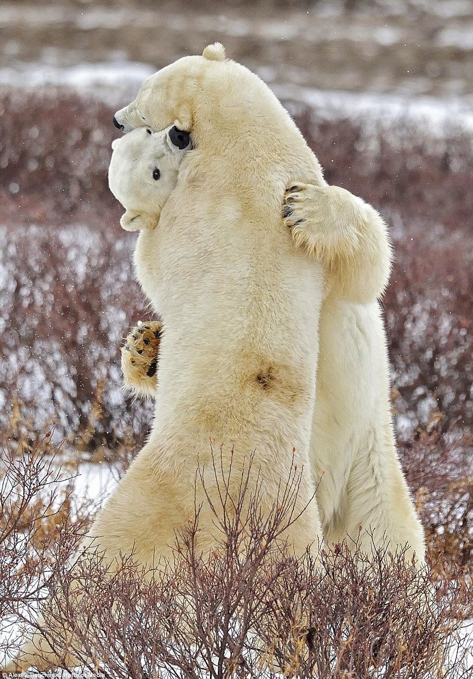 Cuddling Polar Bears