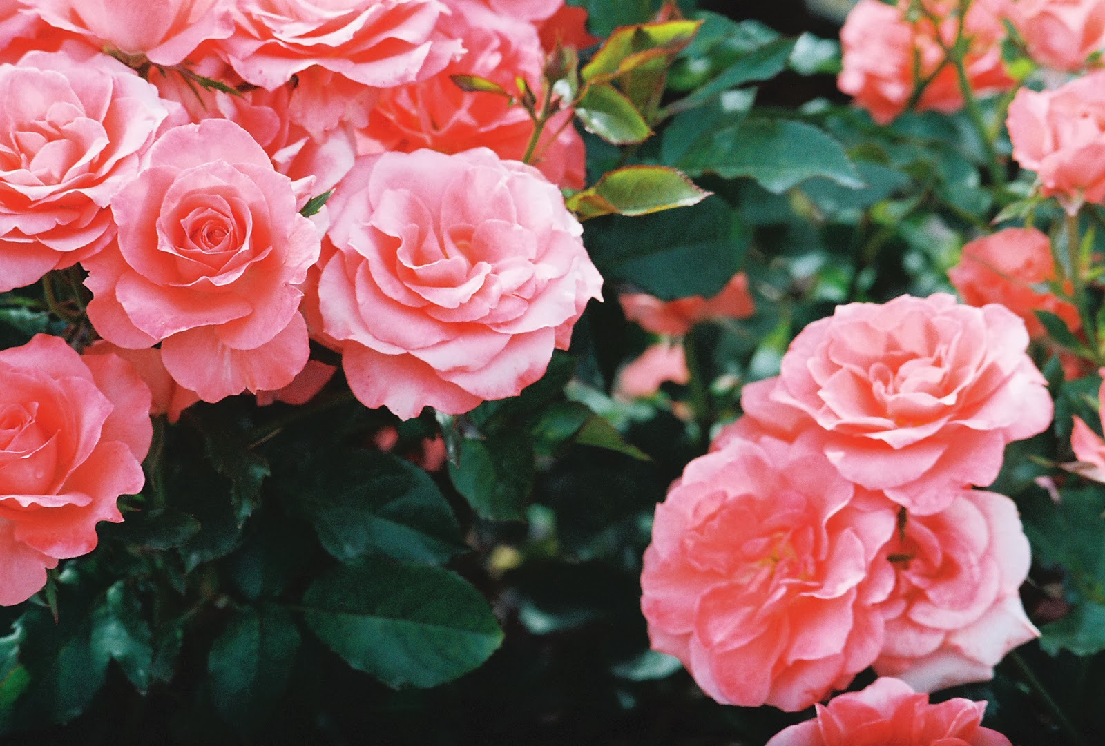 coming  roses expert rose advice  witherspoon rose