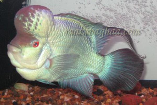 Thai FH  International Supplier of Flowerhorn Fish