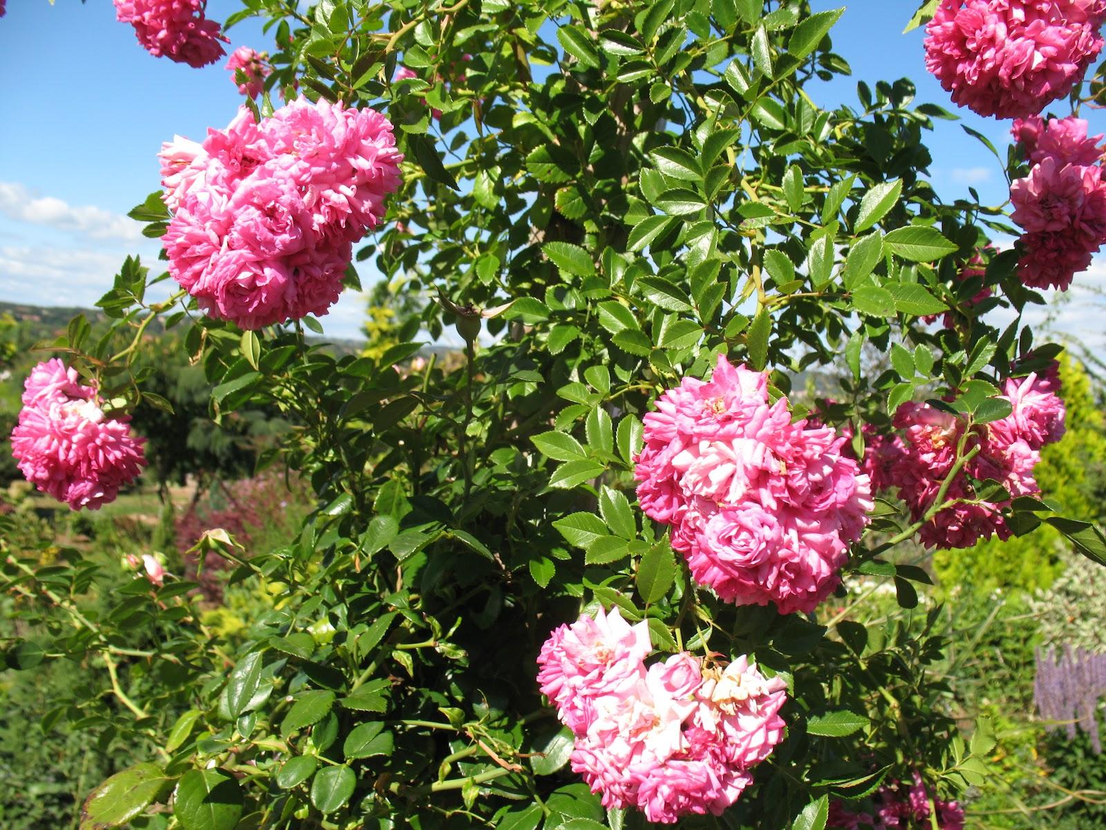 roses du jardin ch neland rosier dorothy perkins. Black Bedroom Furniture Sets. Home Design Ideas