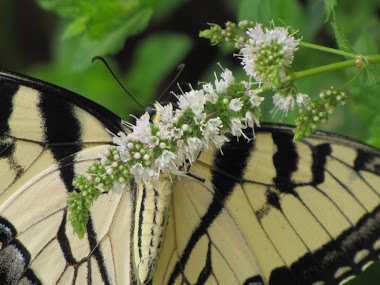 Underside of Yellow Tiger Swallowtail Butterfly