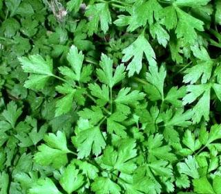 Los beneficios de la Salvia y el Perejil
