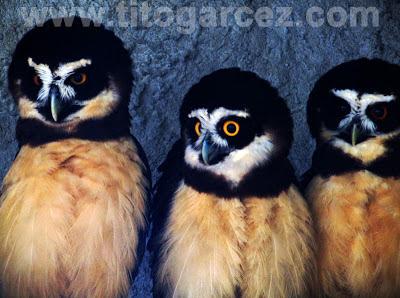 Corujas-murucututu (Pulsatrix perspicillata) no Parque dos Falcões, em Sergipe