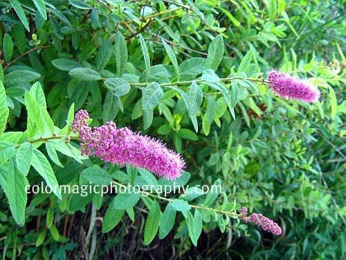 Spiraea x billiardii- pink flowering shrub