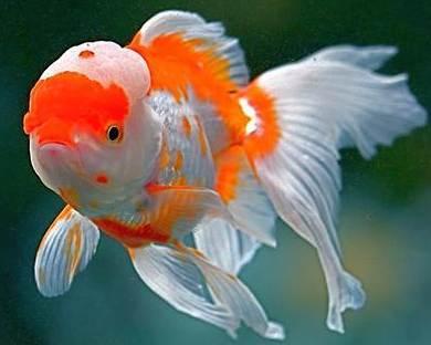 japon baligi 9 Japon Balıkları