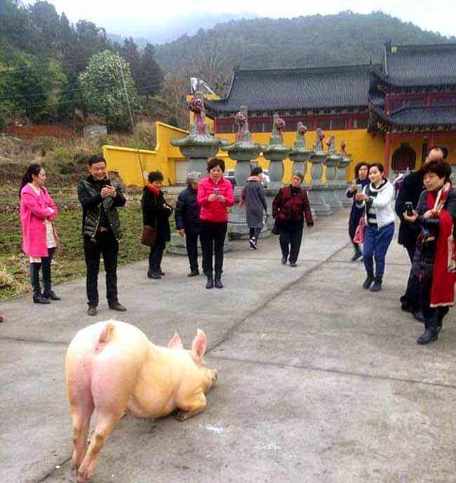 cerdo budista arrodilla