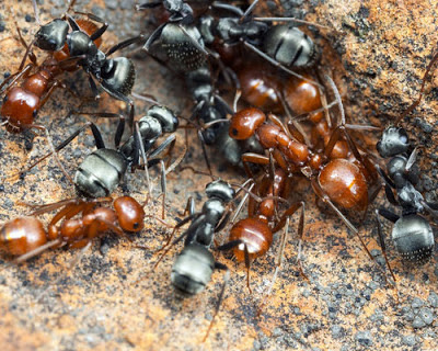red ants and black ants fighting