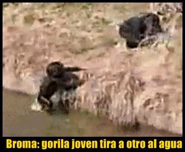 broma-gorila-empujado-agua