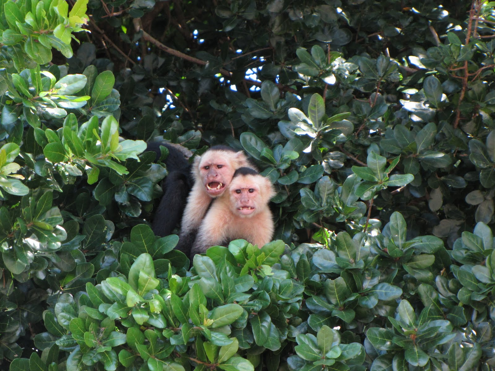 White Faced Capuchin Facts White-faced Capuchins