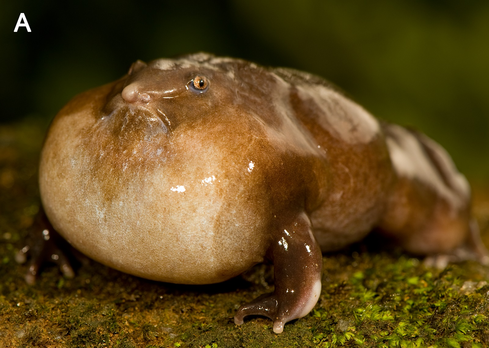The Indian Purple Frog