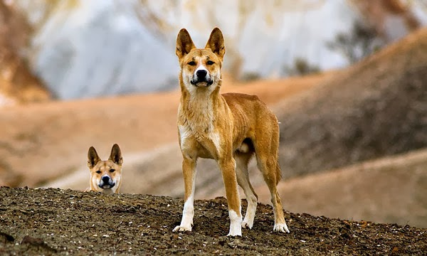 the jungle store the things a dingo mother does for her babies