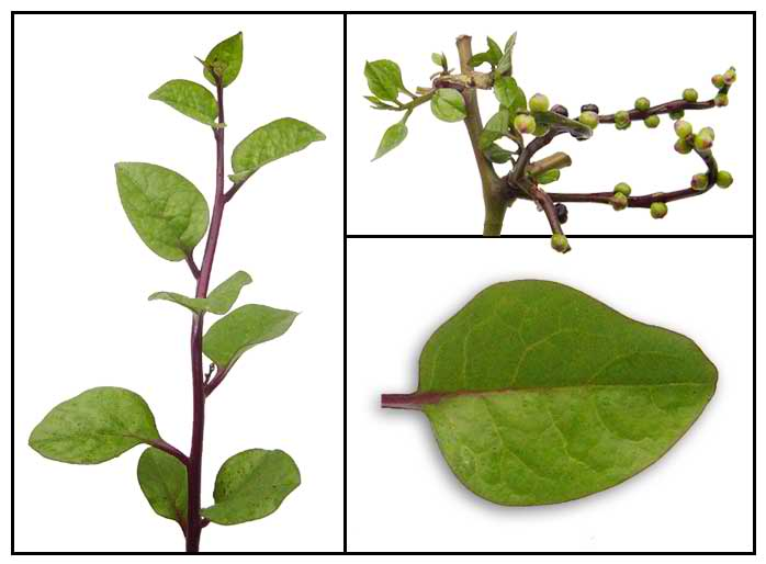 basella rubra linn fruit extract Can basella rubra fruit extract be used as a counterstain in gram staining one of the example is the guava plant (psidium guajava linn) based on research this plant is good for healing and treating wounds and other skin infections.
