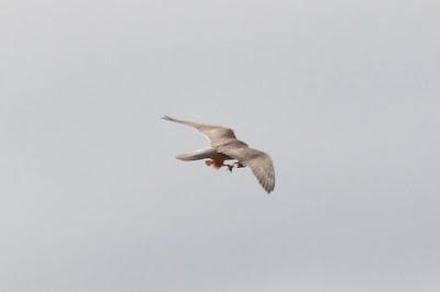 timbobagginsabroad, raptor, falcon