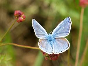Blaveta, papallona de la família licènids gènere polyommatus