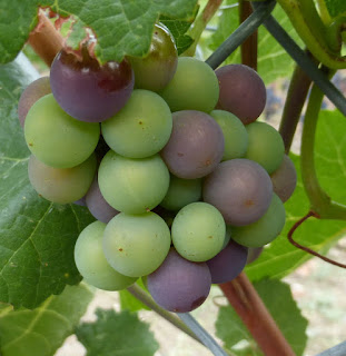 A cluster of green and red grapes