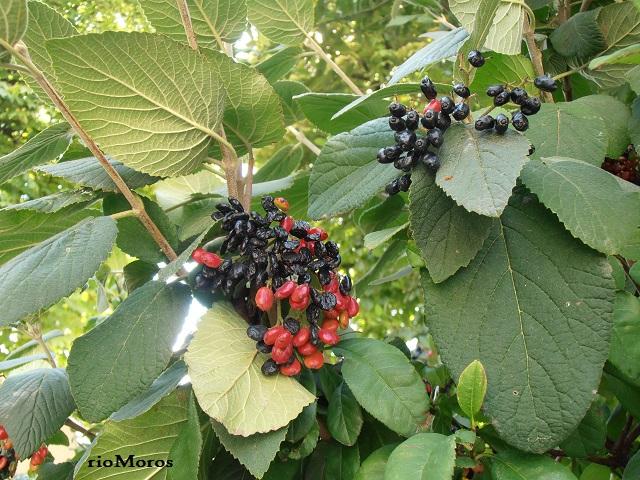 Descripción, fotos, vídeos y cuidados de la MORRIONERA: Viburnum lantana