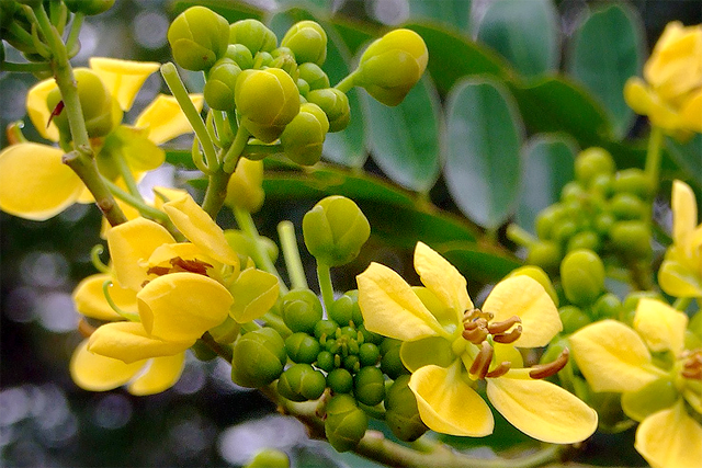 Cassia-flower-curry.png
