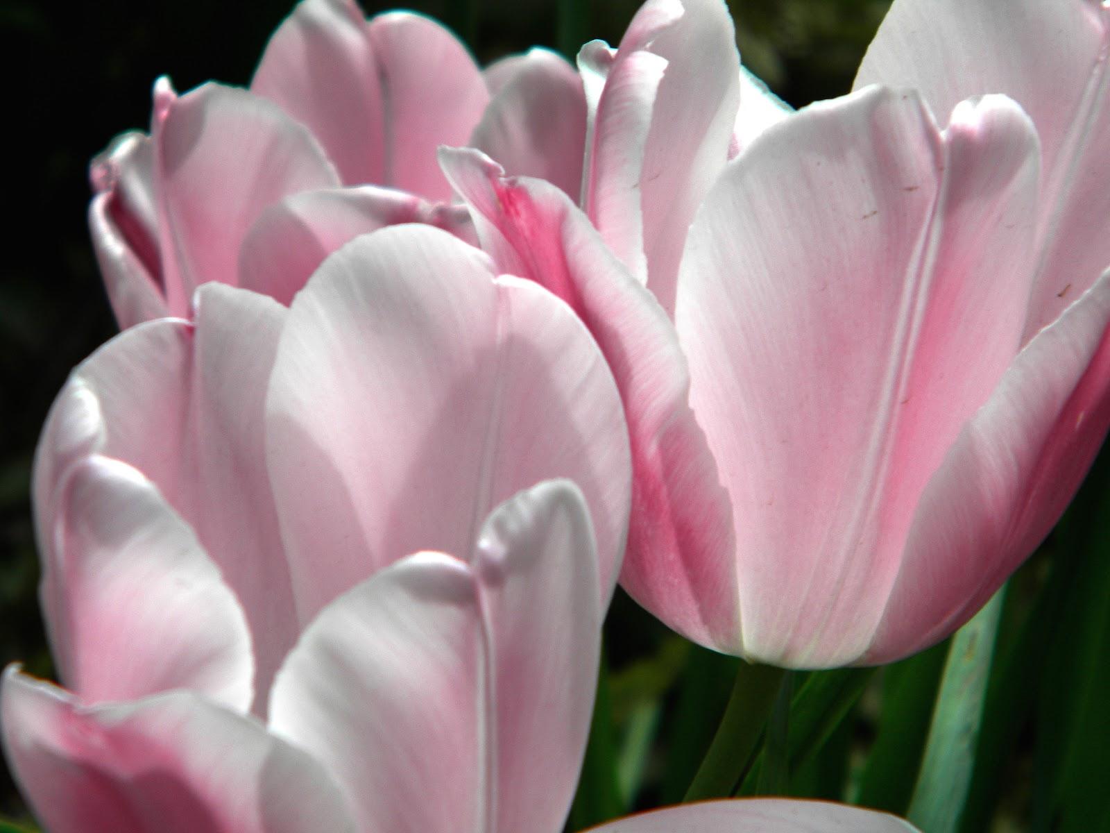 Pink tulips in Hayden Planetarium Park