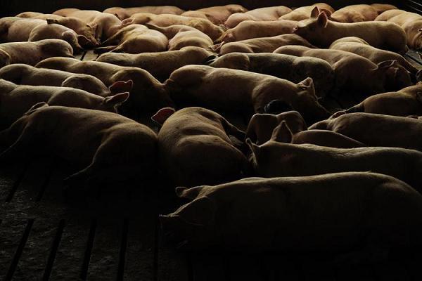 miru kim mulher nua meio porcos