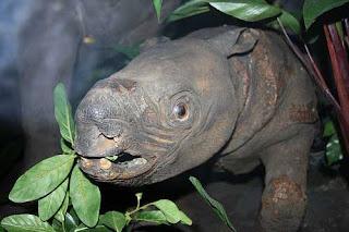 Badak Sumatra haiwan Malaysia yang hampir pupus